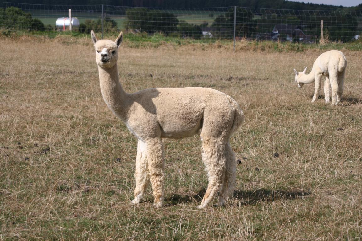 Alpaka Verkaufstier, Hengst, Prodigy-Sohn